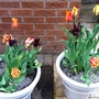 Duo of potted tulips.