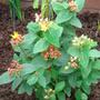 Hypericum elite 'Mayor' (Hypericum olympicum (Hypericum))