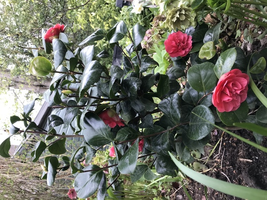Camellia  (Camellia japonica Are- Jishi)