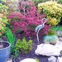 Acer dissectum palmatum fully out....heron is shown up more now.