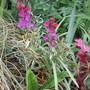 Top End Garage Border. (Erysimum linifolium variegatum)