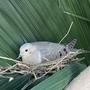 Dove in Sentry Palm