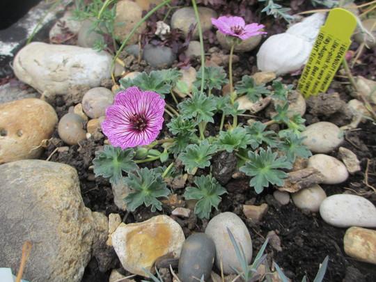 Geranium cinereum Ballerina (For my File) (Geranium cinereum)