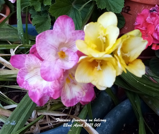 Freesias flowering on balcony 22nd April 2021 (Freesia grandiflora)