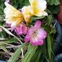Freesias flowering on balcony 30th April 2021 (Freesia grandiflora)