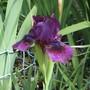 Dwarf Bearded Iris 'Cherry Garden' (Iris pumila (Dwarf Flag))