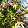 Chinese rose with lots of buds on balcony 20th April 2021