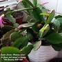 Easter Cactus (Hatiora rosea) 1st flower just opened in kitchen 18th January 2021 (Hatiora gaetner)