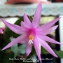 Easter Cactus (Hatiora rosea) flowering in kitchen close up 21st January 2021 (Hatiora gaetner)