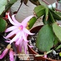 Easter Cactus (Hatiora rosea) flowering in kitchen 27th March 2021 (Hatiora gaetner)