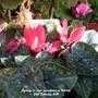 Cyclamen in mini greenhouse on balcony 20th February 2021 (Cyclamen hederifolium (Hardy cyclamen))
