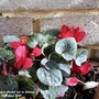 Cyclamen just planted out on balcony 18th April 2021 (Cyclamen hederifolium (Hardy cyclamen))