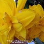 Double flowered Daffodils on balcony 20th April 2021 (Daffodil)