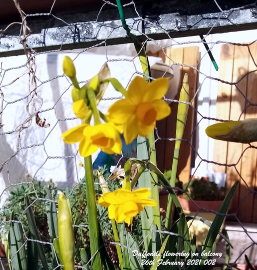 Daffodils flowering on balcony 26th February 2021 (Daffodil)
