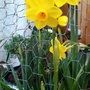 Daffodil on balcony 1st March 2021 (Daffodil)