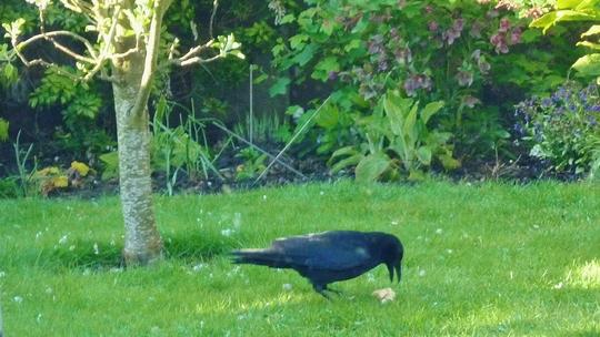 Here's my crow.
