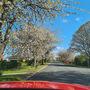 Avenue of blossom...