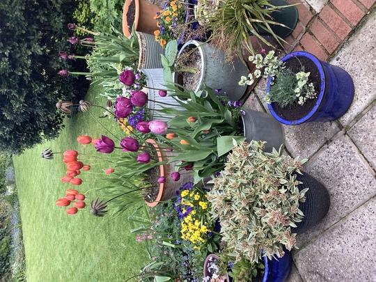 Tulip patio display