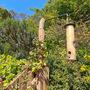 Clematis Montana - coaxing it to climb (Clematis montana (Clematis))