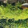 My 'oldest' Acer Palmatum dissectum.  (Acer Palmatum dissectum)