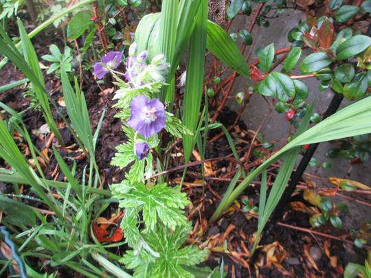 Geranium phaeum Margaret Wilson (For my File) (Geranium phaeum (Mourning widow))
