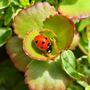 Lovely little ladybird sitting in a sedum rosette
