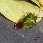 Shield beetle sunning itself..