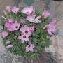 Dsc00308_2_pink_shamrock