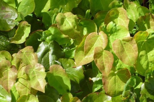 Epimedium foliage (Epimedium sulphureum)
