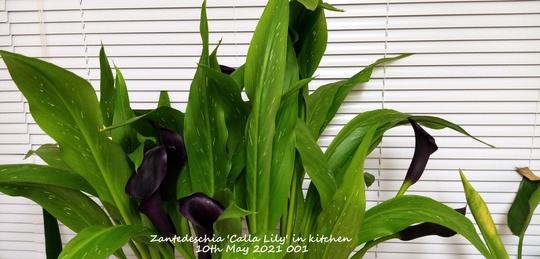 Zantedeschia 'Calla Lily' in kitchen 10th May 2021 001 (Zantedeschia)