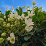 Clambering clematis 'early sensation'