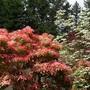 Pieris japonica and Dogwood