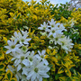 Clematis clambering over the euonymus...