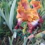 Bearded Iris (Bearded Iris)