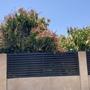 Mangifera indica - Mango Trees Flowering