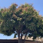 Mangifera indica - Mango Tree Flowering
