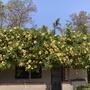 Solandra maxima - Cup of Gold Vine
