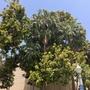 Ficus lyrata - Fiddle-Leaf-Fig