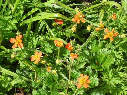 Geum  Queen of Orange (Geum coccineum 'Queen of Orange')