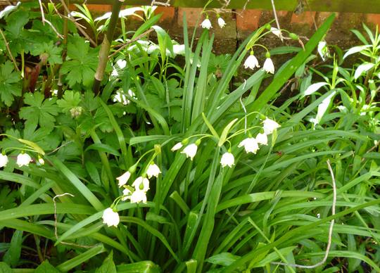 Leucojum (Leucojum vernum (Spring snowflake))