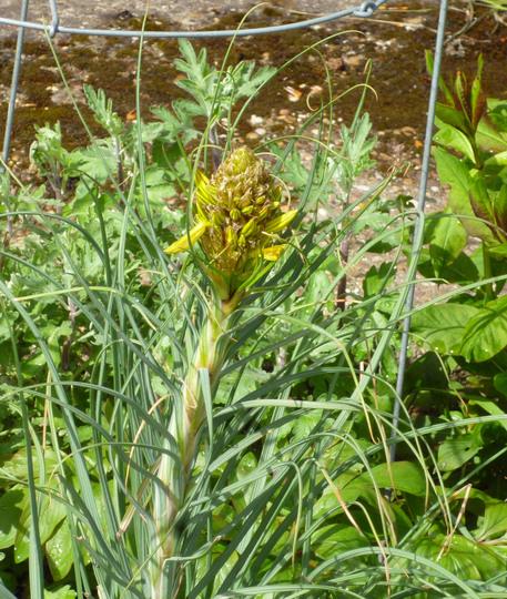Asphodeline lutea (Asphodeline lutea (King's Spear))