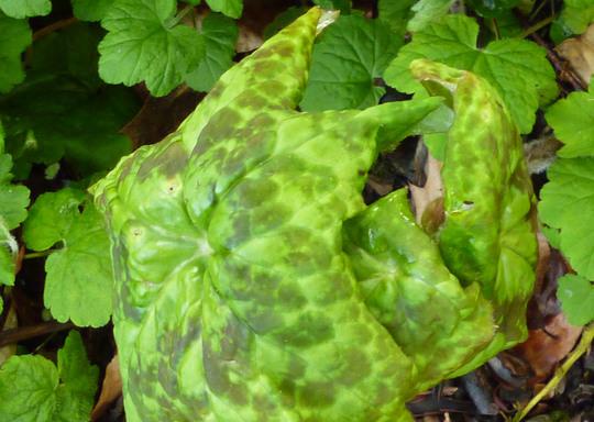 Spotty Dotty (Podophyllum 'Spotty Dotty')