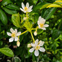 Mexican Orange Blossom. (Choisya ternata (Mexican orange blossom))