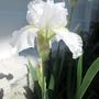 Iris - Immortality