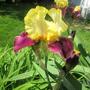 Iris - Blatant