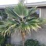 Pritchardia minor - Hawaiian Lou Lou Palm