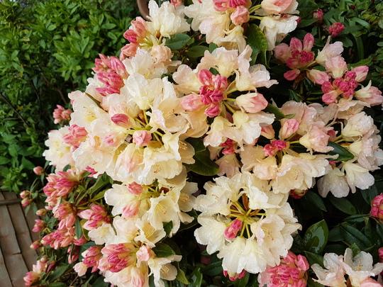 Rhododendron Golden Torch