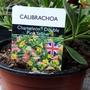 Calibrachoa 'Chameleon Double Pink Yellow' just bought 14th May 2021 (Calibrachoa)