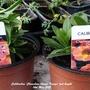 Calibrachoa 'Chameleon Atomic Orange' just bought 14th May 2021 (Calibrachoa)