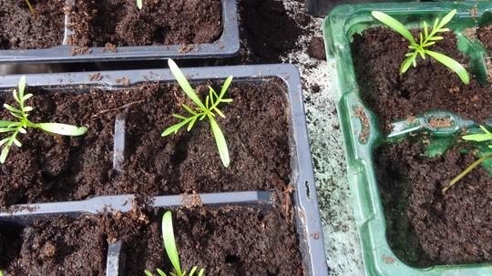 Cosmos seedlings growing well